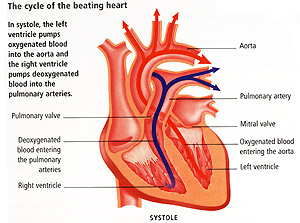 Beating heart cycle